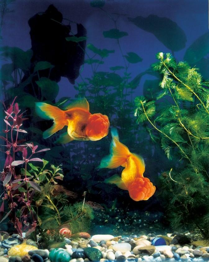如何拍摄家中鱼缸的金鱼5
