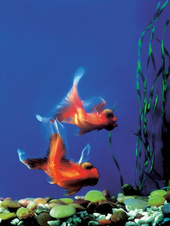 如何拍摄家中鱼缸的金鱼7